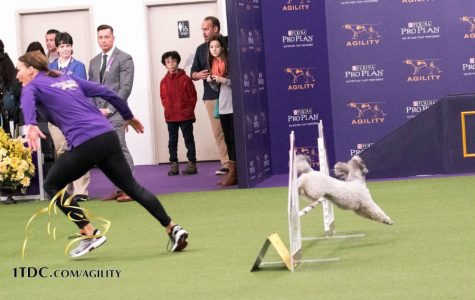 Westford resident and dog fetch award at Westminster