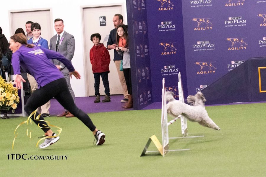 Laura Dolan and her dog, Pre, in action running through the agility course