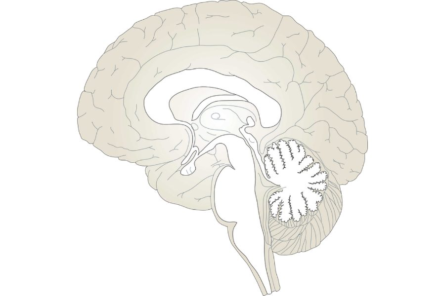 The+hypothalamus%2C+pituitary+gland%2C+and+amygdala+are+all+included+in+the+brain.+