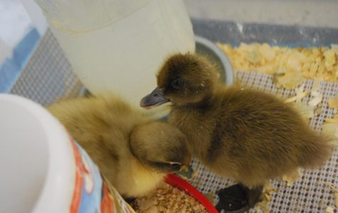 WA makes way for ducklings