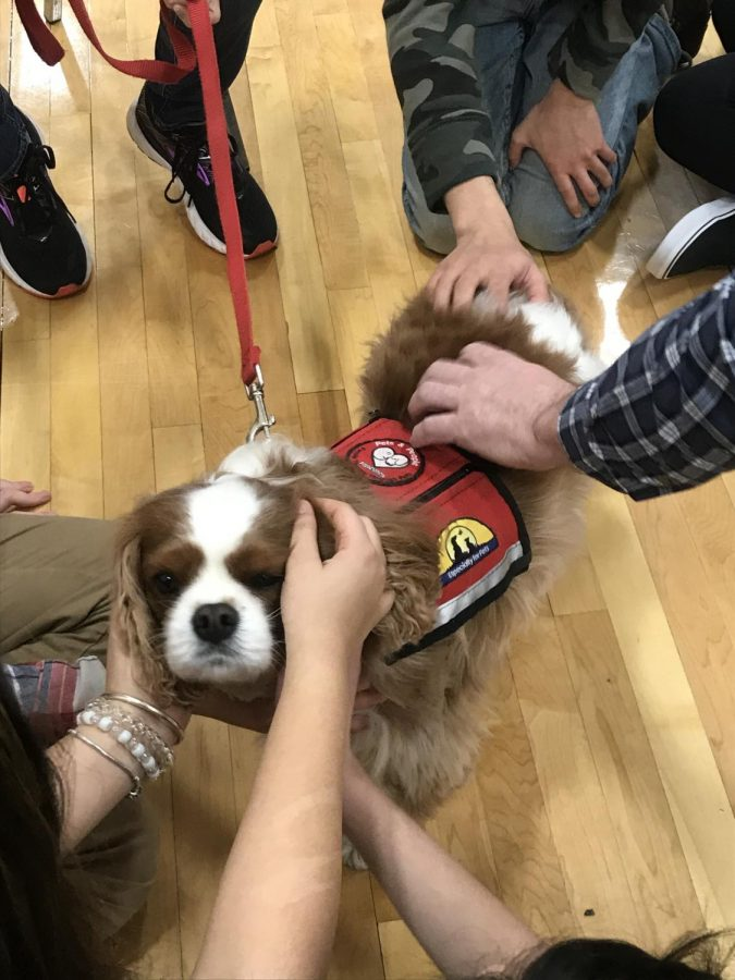 One of the three therapy dogs being pet by students. This dog is relaxed and calm to help the stressed students.