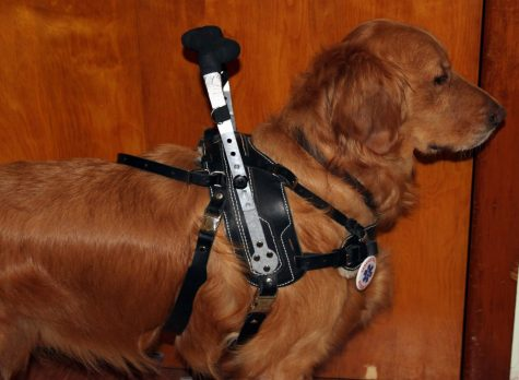 A service dog similar to one Bellemore will receive.